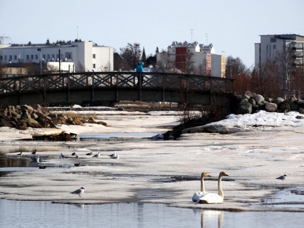 Lintuja kevätvesissä, taustalla kaupungin kerrostaloja.