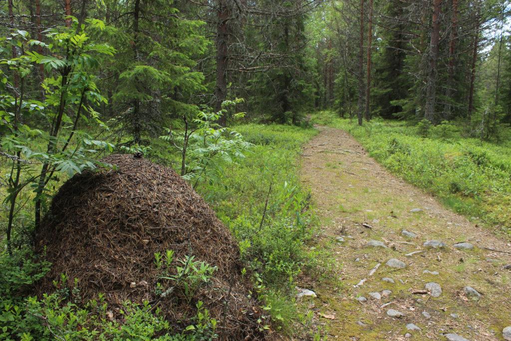 Metsäpolku Ajoksen Murhaniemessä.