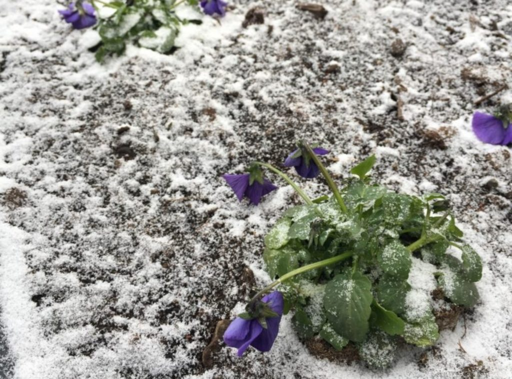 Kukkivia orvokkeja, päälle satanut lunta.
