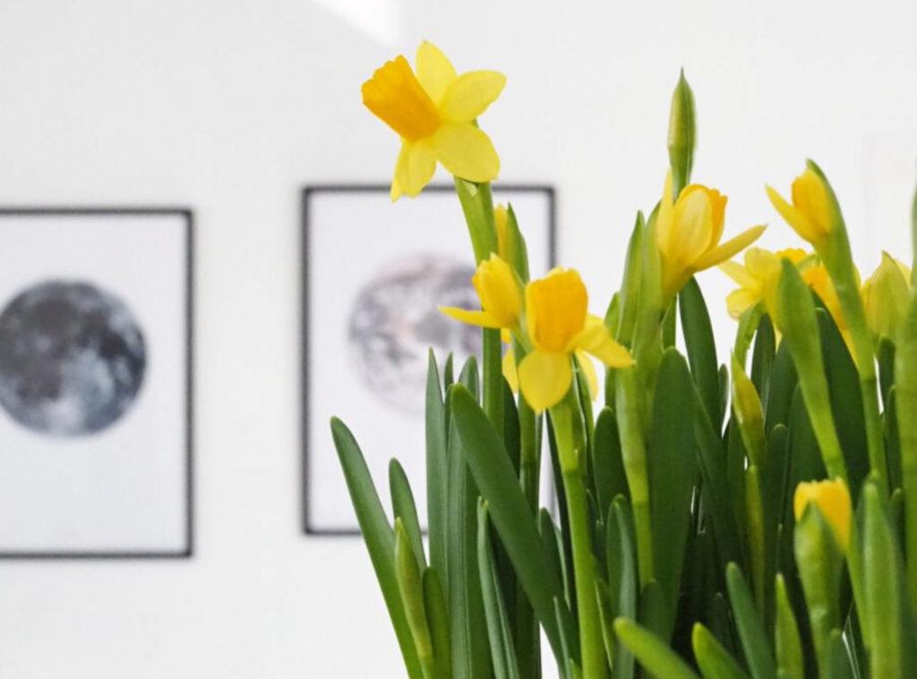 Etualalla keltaisia narsisseja ruukussa, taustan seinällä hämärtyviä tauluja, jotka kuvaavat ehkä maapalloa.