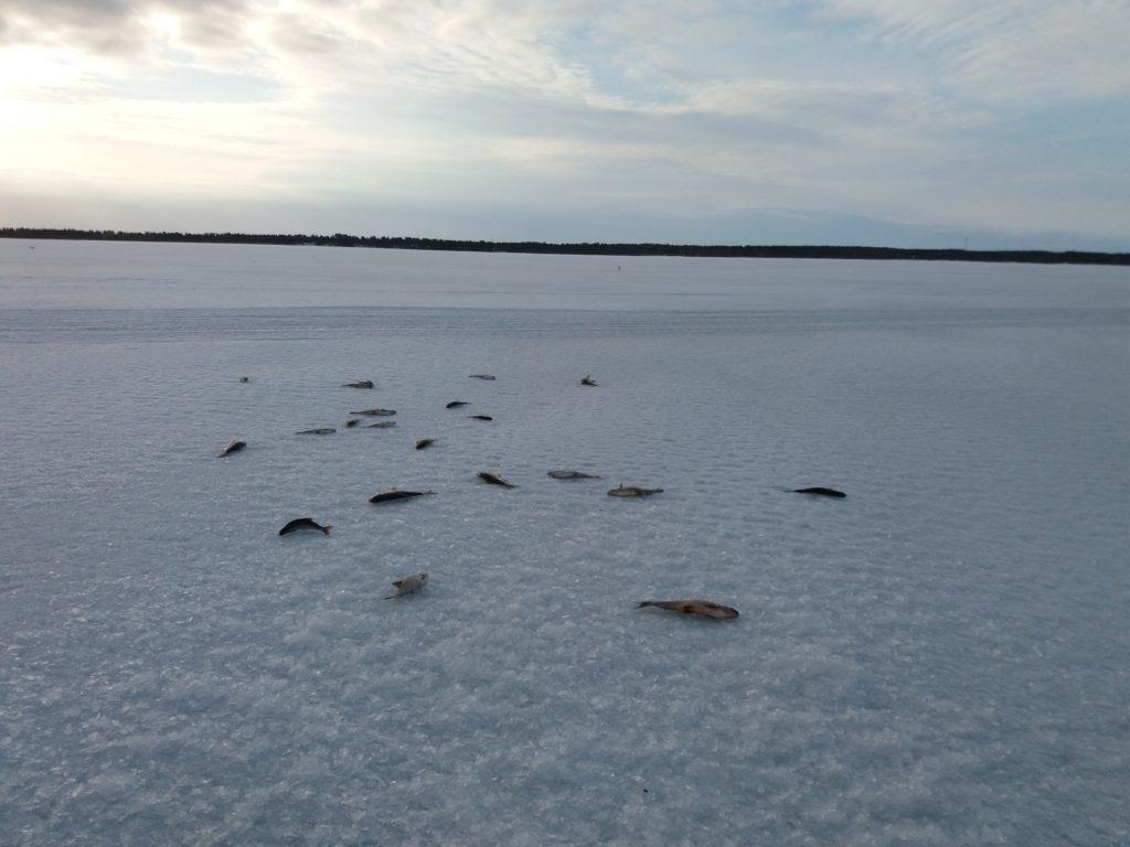 Kuolleita kaloja jäällä, pilkkijä jättänyt lokeille.