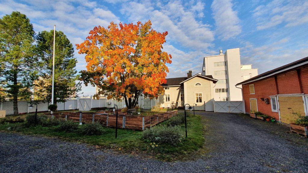 Oranssinkeltainen vaahtera vanhassa puutalopihapiirissä.
