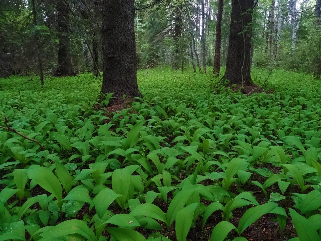 Metsän aluskasvillisuutta.