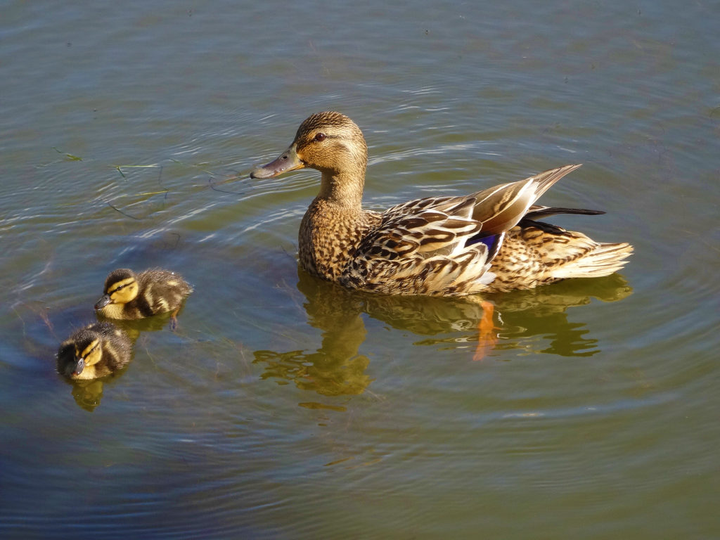 Sorsaemo ja kaksi poikasta vedessä.