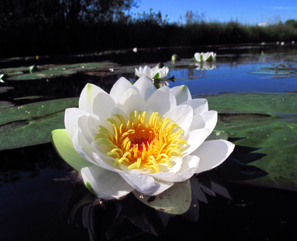Ulpukan kukka vedessä. Iso lähikuva.
