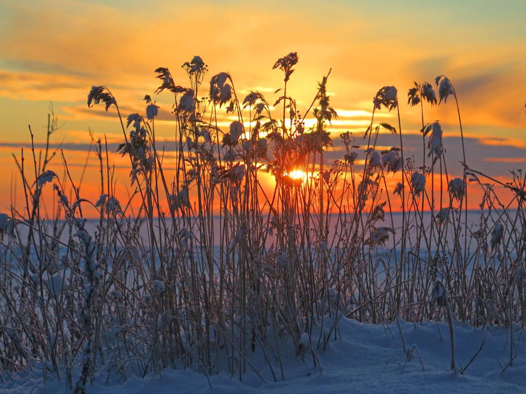 Talvinen kuva, lumisten heinien takaa näkyy aurinko